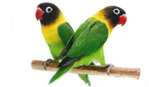 Cerca de 500 aves se darán cita en el II concurso de Agaporn ...